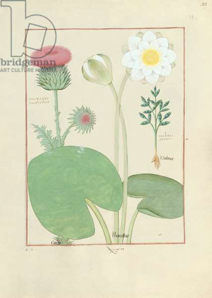 Ms Fr. Fv VI #1 fol.129r Plumed thistle, Water lily and Castor bean plant, illustration from 'The Book of Simple Medicines', by Mattheaus Platearius (d.c.1161) c.1470 (vellum)