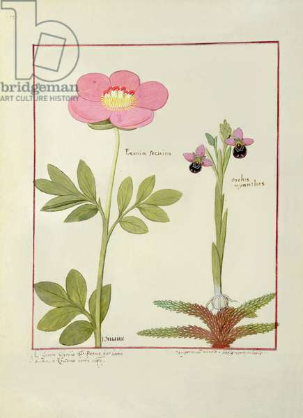 Ms Fr. Fol VI #1 Paeonia or Peony, and Orchis myanthos, illustration from 'The Book of Simple Medicines' by Mattheaus Platearius (d.c.1161) c.1470 (vellum)