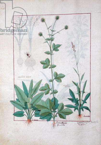 Ms Fr. Fv VI #1 fol.119v  Sorrel and Gariofilata (Benedicta Wood) illustration from 'The Book of Simple Medicines' by Mattheaus Platearius (d.c.1161) c.1470 (vellum)