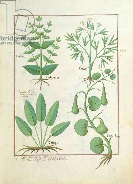 Ms Fr. Fv VI #1 fol.122r Euphorbia Lathyris, Beechwort, Mint and Fig, illustration from 'The Book of Simple Medicine' by Mattheaus Platearius (d.c.1161) c.1470 (vellum)