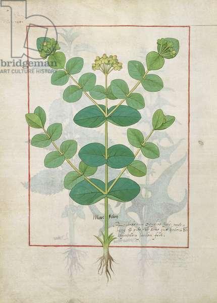 Ms Fr. Fv VI #1 fol.156v Flower, Illustration from the 'Book of Simple Medicines' by Mattheaus Platearius (d.c.1161) c.1470 (vellum)