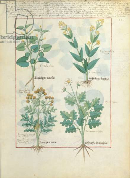Ms Fr. Fv VI #1 fol.124r Top row: Aristolochia Rotundi and Aristolochia Longua. Bottom row: Armoise and Artemesia, illustration from 'The Simple Book of Medicines', by Matteaus Platearius (d.c.1161) c.1470 (vellum)