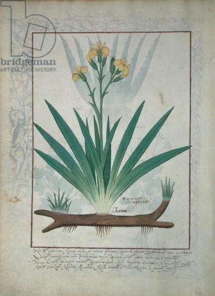 Ms Fr. Fv VI #1 fol.112v Abutilon Theophrasti, or Velvet Leaf, illustration from 'The Book of Simple Medicines' by Mattheaus Platearius (d.c.1161) c.1470 (vellum)