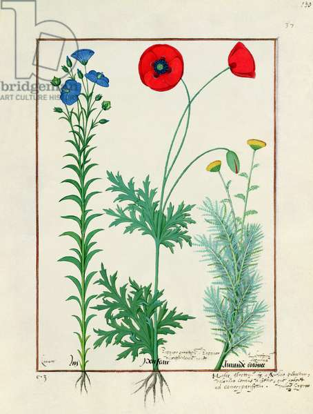 Ms Fr. Fv VI #1 fol.130r Linum, Garden poppies and Abrotanum, illustration from 'The Book of Simple Medicines', by Mattheaus Platearius (d.c.1161) c.1470 (vellum)