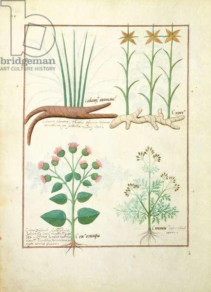 Ms Fr. Fv VI #1 fol.119v Cyperus, Calamus, Crocus ostensis, illustration from 'The Book of Simple Medicines' by Mattheaus Platearius (d.c.1161) c.1470 (vellum)