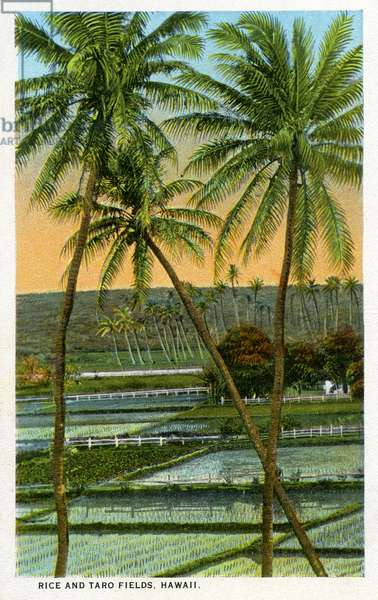 Rice and taro fields, Hawaii