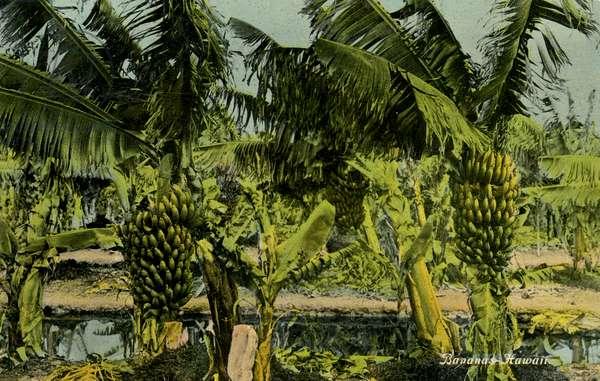 Banana palms, Hawaii