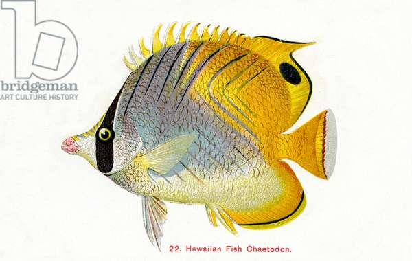 Blackback butterfly fish