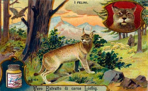 The Cat Family: Lynx  - illustration
