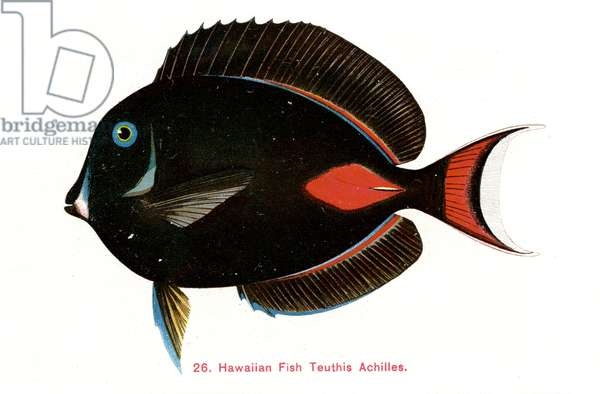 Achilles surgeonfish