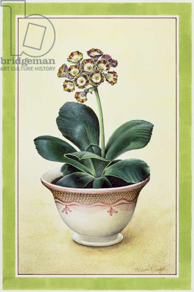 Red and Green Variegated Auricula, 1990 (w/c on paper)