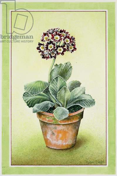 Striped Auricula in Clay Pot, 1990 (w/c on paper)