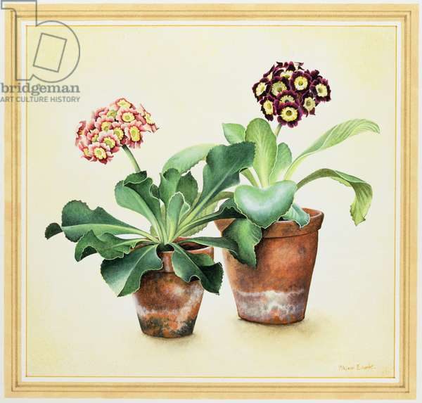 Two Variegated Auriculas in Clay Pots, 1990 (w/c on paper)