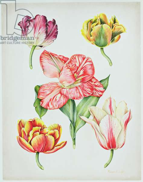 5 Tulip Heads, 1990 (w/c on paper)