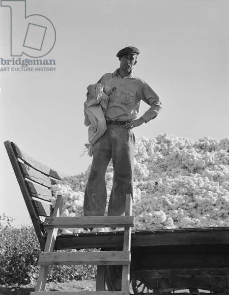 Cotton picker in San Joaquin Valley, California, 1936 (b/w photo)