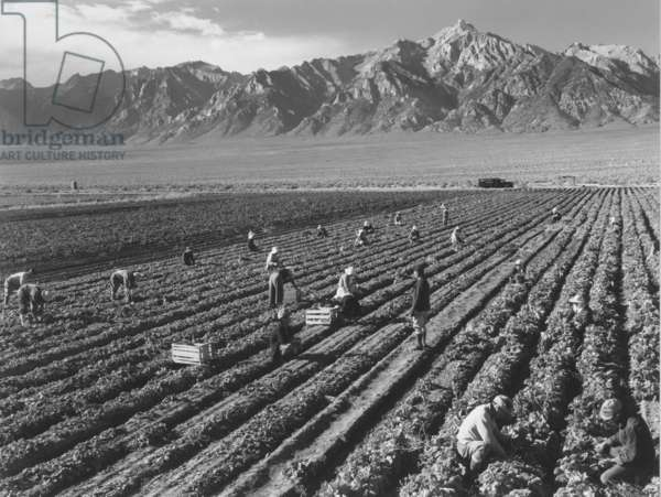 Farm workers harvesting with Mount Williamson in background, Manzanar Relocation Center, California, 1943 (b/w photo)
