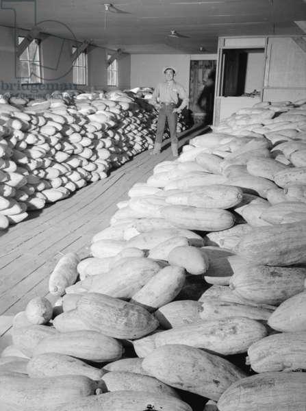Benji Iguchi with squash, Manzanar Relocation Center, 1943 (b/w photo)