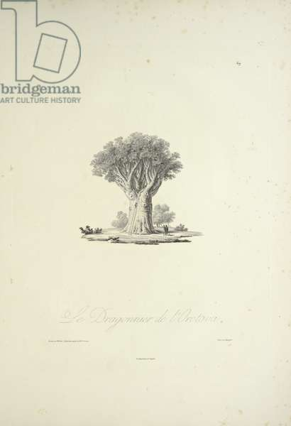 The Dragon Tree of Orotava, engraved by Bouquet, illustration from 'Vues des Cordillères et Monumens des Peuples Indigènes de l'Amérique' by Alexander von Humboldt and Aime Bonpland, 1813 (engraving)