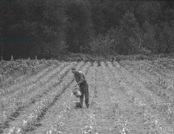 Hand irrigation on small rented subsistence farm, Western Washington, 1939 (b/w photo)