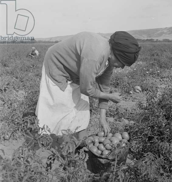 Mexican migrant woman harvesting tomatoes in California, 1938 (b/w photo)