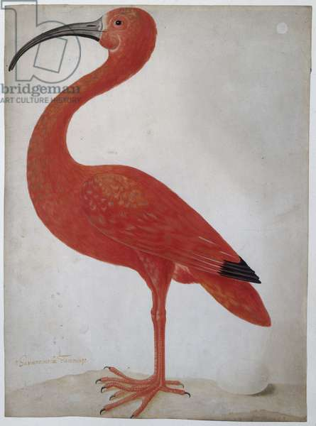 Scarlet Ibis with an Egg, 1699-1701 (w/c on vellum)
