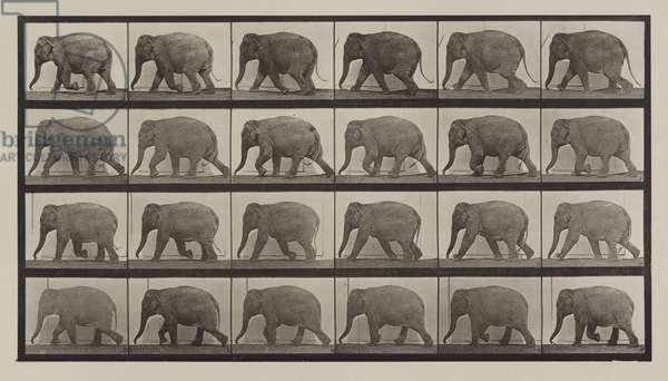 Plate Number 733. Elephant walking, 1887 (collotype)