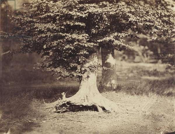 The Beech Tree, c.1855-7 (b/w photo)