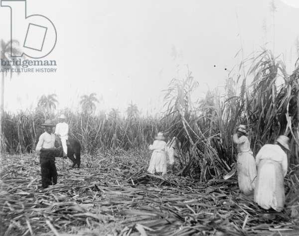 Harvesting sugar cane in Cuba, c.1910 (b/w photo)