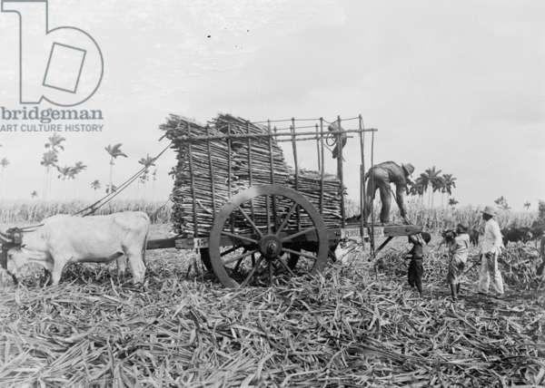 Loading sugar cane onto a cart in Cuba, c.1910 (b/w photo)