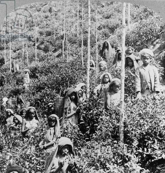 Children picking tea at Talawakele, near Nuwara Eliya, c.1903 (b/w photo)