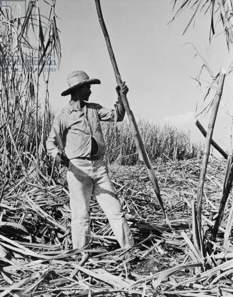 Harvesting sugarcane in Cuba, c.1940 (b/w photo)
