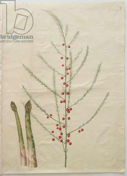 Asparagus officinalis from the album Gottorfer Codex, c.1650 (gouache on parchment)