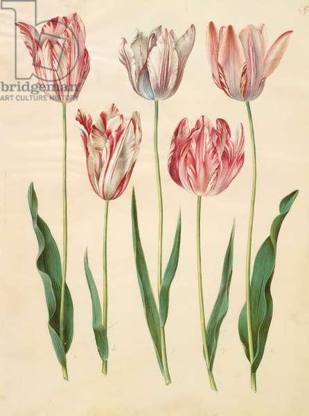 Tulipa gesneriana from the album Gottorfer Codex, c.1650 (gouache on parchment)