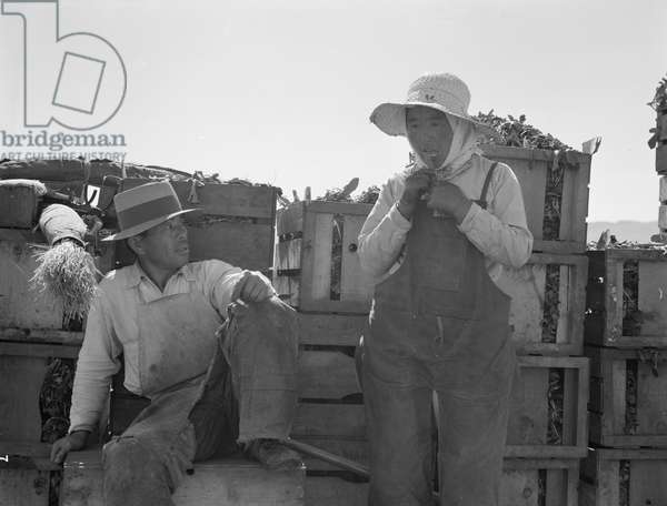 Japanese agricultural workers in California, 1937 (b/w photo)