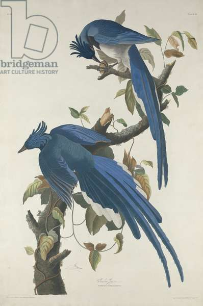 Columbia Jay, 1830 (hand-colored etching and aquatint on Whatman paper)