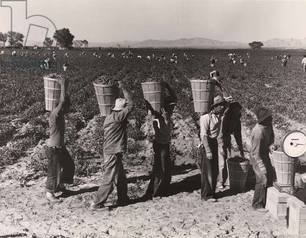 Pea Pickers Line Up on Edge of Field at Weigh Scale, California, 1939 (gelatin silver print)
