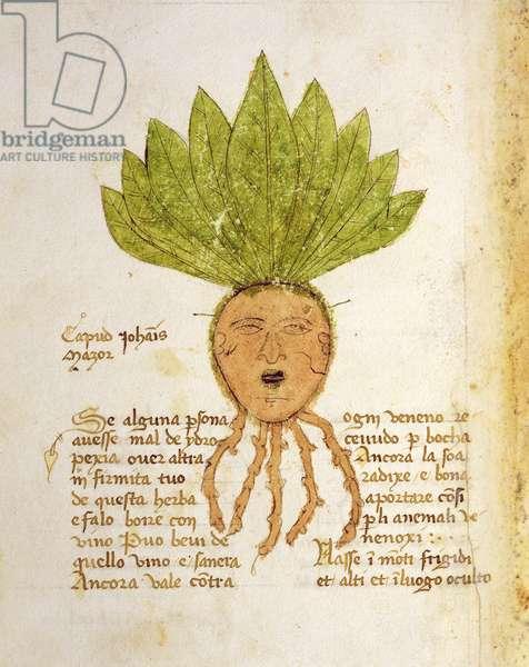 Ms 1591 Fol.18v. Herba Capud Johannis Mazor (vellum)