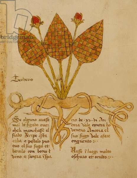 Ms 1591 Fol.19r Herba Teoderis (vellum)