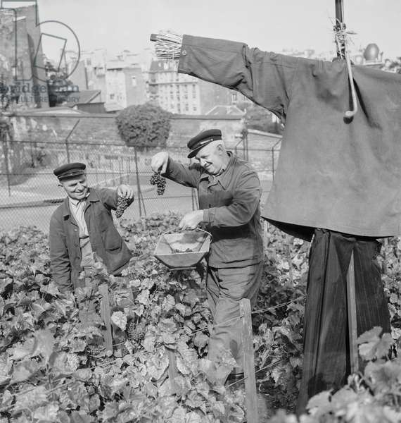 Before grape harvest in Montmartre, Paris, September 21, 1960 (b/w photo)