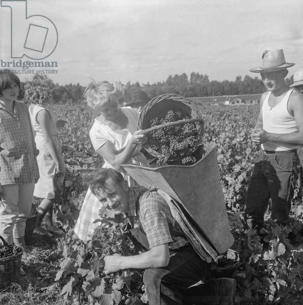 The grape harvest in Renaison, France, august 23, 1960 (b/w photo)