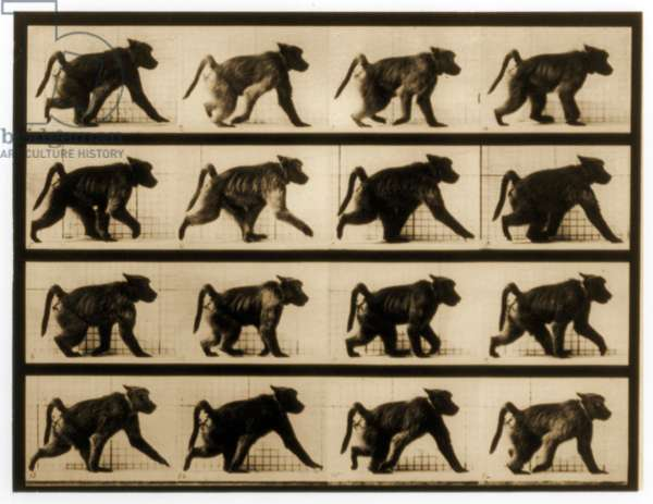 Image sequence of a Baboon running, 'Animal Locomotion' series, c.1887 (b/w photo)