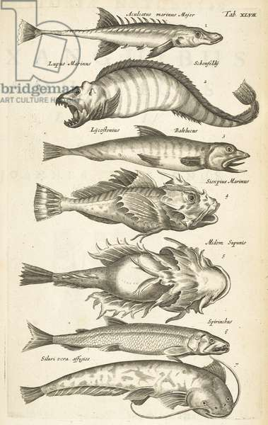 Tab XLVII, Fish species, Illustration from from 'Historiæ naturalis de quadrupetibus', 1657 (engraving)