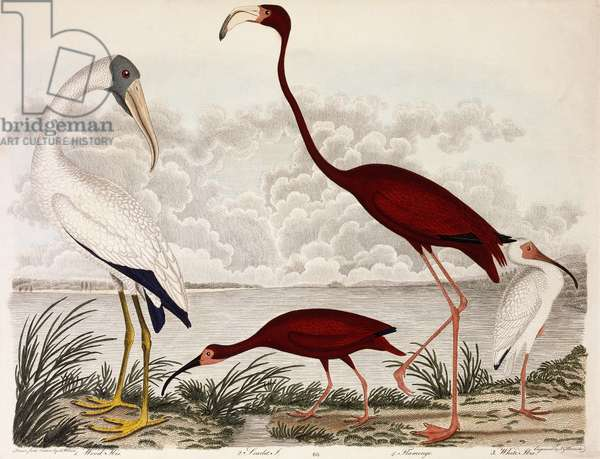 Wood Ibis, Scarlet Flamingo, White Ibis, c.1828-1829 (hand-coloured engraving)