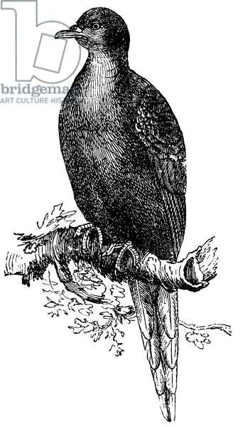 Passenger pigeon, Wild pigeon