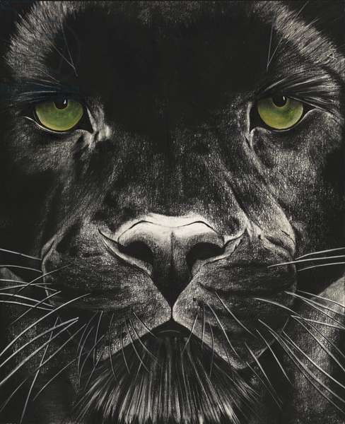 Panther, 2009, (Charcoal and pastel on paper)