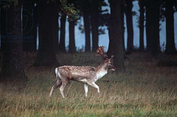 Deer in Phoenix Park, Dublin, referred to By James Joyce in 'Dubliners, Ireland (photo)