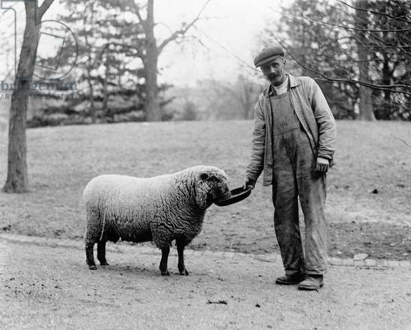 WHITE HOUSE SHEEP Man feeding a sheep, which were kept on the White House lawn while Woodrow Wilson was in office, 1913-1921.