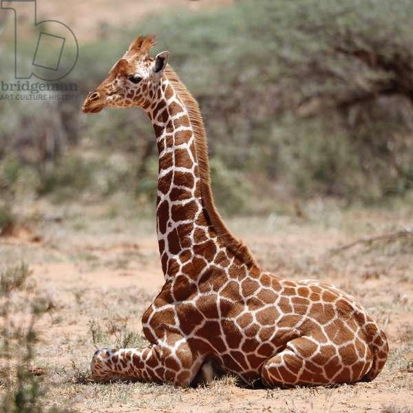 Baby giraffe, Loisaba, 2017, (photograph)