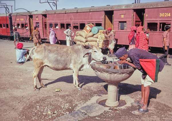 Sacred cow drinking water from a water fountain at railway station in Rajasthan, India, 1970 (photo)