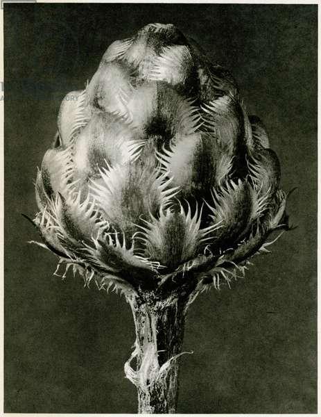 Centaurea Grecesina. 1929 (photogravure)